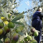 Raccolta delle olive