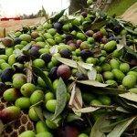 Le olive umbre pronte per essere spremute